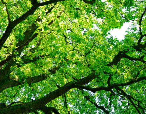 huge bilva tree canope